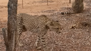 Cheeta on the move