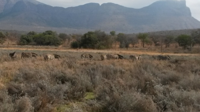 Blue wildebees and Zebra